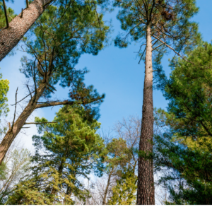 Forêt des Landes